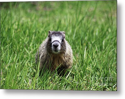 Metal Print featuring the photograph Marmot Pup by Alyce Taylor