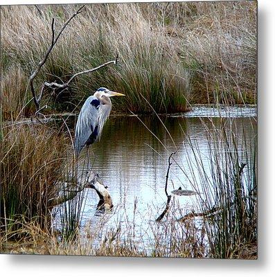 Marsh Pond Great Blue Heron Metal Print by Phyllis Beiser