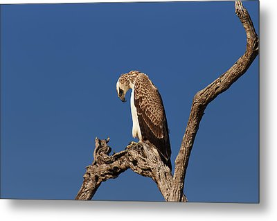Martial Eagle Metal Print by Johan Swanepoel