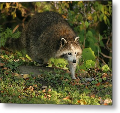 Metal Print featuring the photograph Maskless Raccoon by Doris Potter