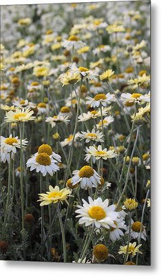 Mass Of Daisies Metal Print by Denice Breaux