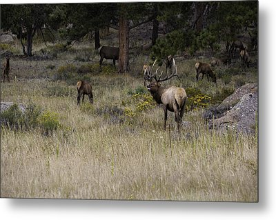 Master Of His Domain - Bull Elk Metal Print by Thomas Schoeller