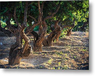 Mastic Tree   Metal Print by Emmanuel Panagiotakis