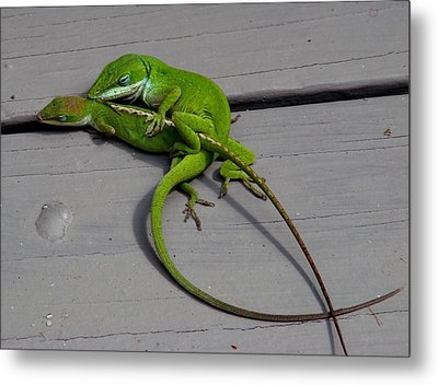 Mating Anoles Metal Print by Bruce W Krucke