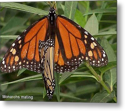 Mating Monarchs Metal Print by Sandy Collier