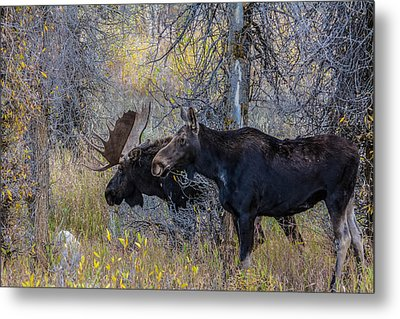 Mating Moose Metal Print