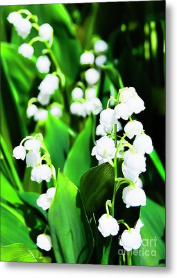 Lily-of-the-valley Metal Print by Nat Air Craft