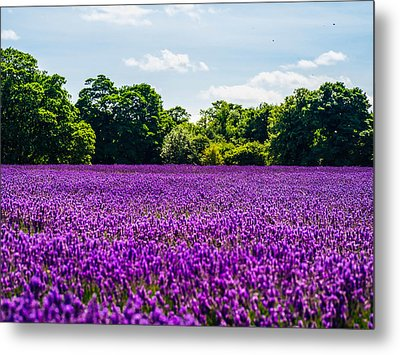 Mayfield Lavender Metal Print
