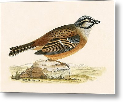 Meadow Bunting Metal Print by English School