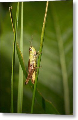 Metal Print featuring the photograph Meadow Grasshopper by Jouko Lehto