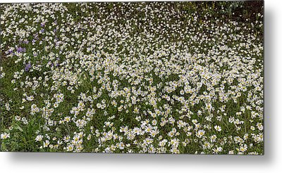 Metal Print featuring the photograph Meadow Of Daisey Wildflowers Panorama by James BO Insogna