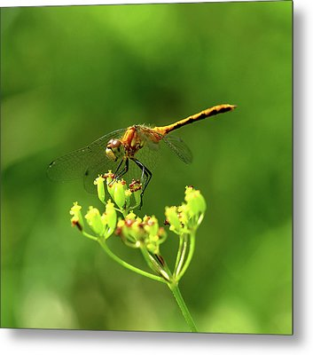Meadowhawk Metal Print by Bill Morgenstern