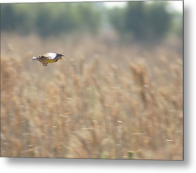 Metal Print featuring the photograph Meadowlark Flying by Lynda Dawson-Youngclaus