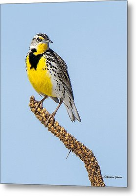 Meadowlark On Mullein Stalk Metal Print