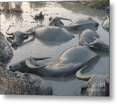 Medium Shot Of A Group Of Water Buffalos Wallowing In A Mud Hole Metal Print by Jason Rosette