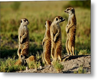 Meerkats Watching Everywhere Metal Print
