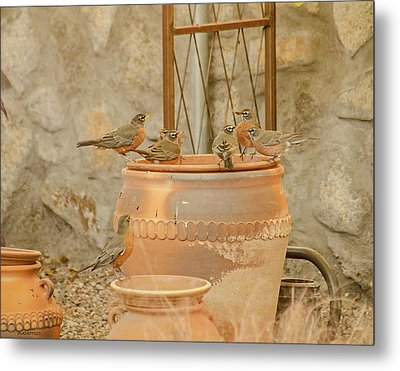 Meeting Of The Robins Metal Print by Allen Sheffield
