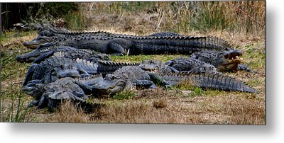 Mess 'o Alligators Metal Print