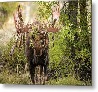 Metal Print featuring the photograph Messy Moose by Mary Hone