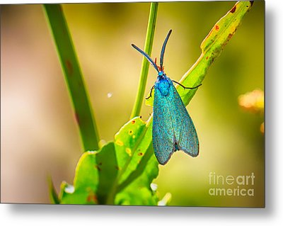 Metallic Forester Moth Metal Print by Jivko Nakev