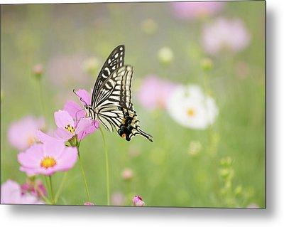 Mexican Aster With Butterfly Metal Print