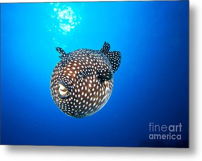 Mexico Guineafowl Puffer Metal Print by Dave Fleetham - Printscapes