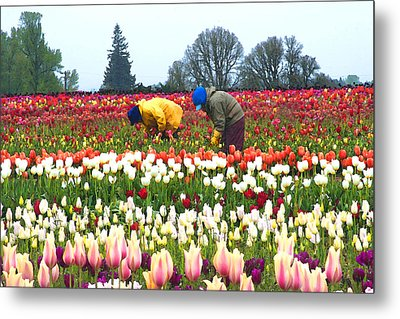 Migrant Workers In The Tulip Fields Metal Print by Margaret Hood