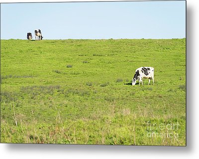 Metal Print featuring the photograph Milk Cow At Point Reyes National Seashore California Dsc4882 by Wingsdomain Art and Photography
