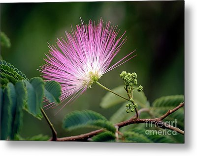 Mimosa1 Metal Print by Steven Foster