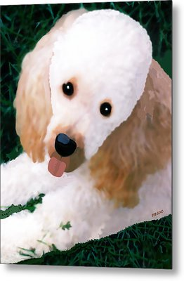 Miniature Poodle Albie Metal Print by Marian Cates