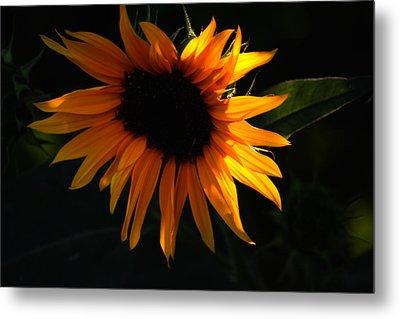 Miniature Sunflower Metal Print by Martin Morehead