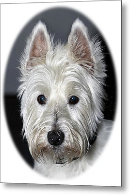 Mischievous Westie Dog Metal Print