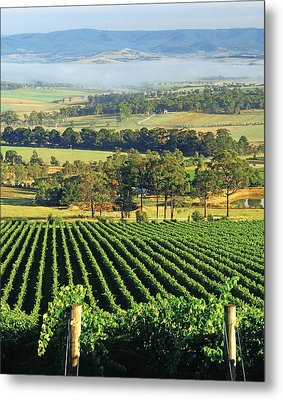 Misty Morning In Yarra Valley Vineyards Near Healesville, Victoria, Australia Metal Print by Peter Walton Photography