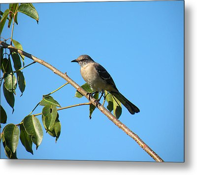 Metal Print featuring the photograph Mocking Bird Out On A Limb by Rosalie Scanlon