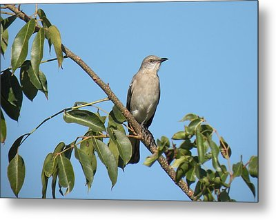 Metal Print featuring the photograph Mocking Bird by Rosalie Scanlon
