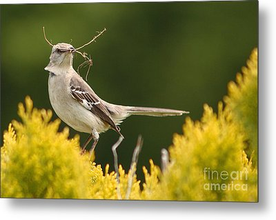 Mockingbird Perched With Nesting Material Metal Print by Max Allen