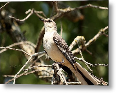 Metal Print featuring the photograph Mockingbird  by Sheila Brown