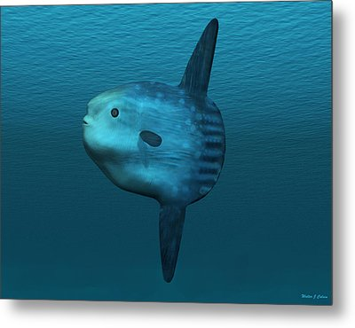 Mola Mola Ocean Sunfish Metal Print by Walter Colvin