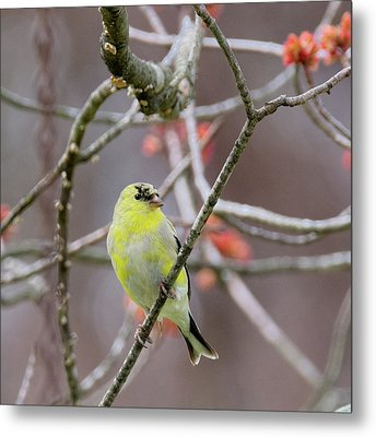 Metal Print featuring the photograph Molting Gold Finch Square by Bill Wakeley