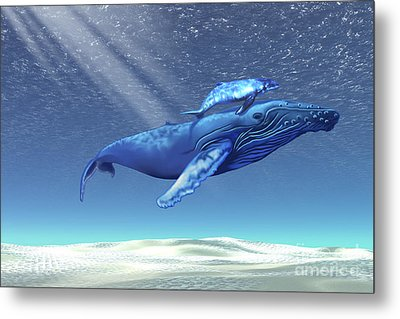 Mom And Baby Humpback Whales Swim Metal Print by Corey Ford