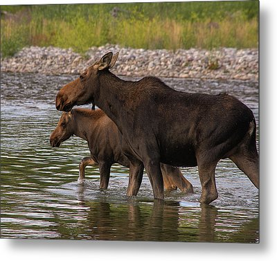 Metal Print featuring the photograph Mom And Baby Moose River Crossing by Mary Hone