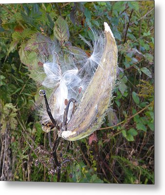 Metal Print featuring the photograph Moment In The Life Of A Milkweed by Joel Deutsch