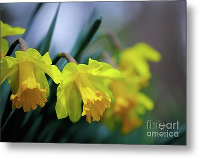 Metal Print featuring the photograph Mom's Daffs by Lois Bryan