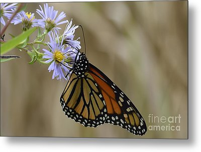 Monarch 2015 Metal Print by Randy Bodkins