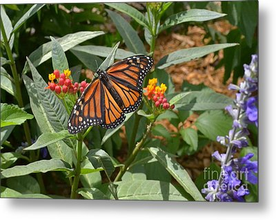 Metal Print featuring the photograph Monarch Butterfly by Carol  Bradley