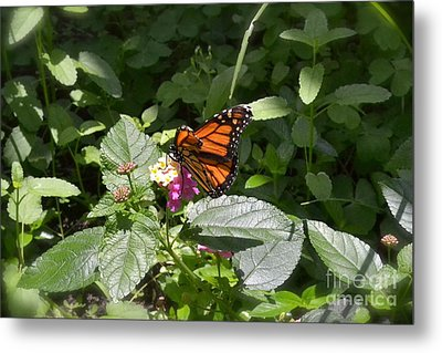 Metal Print featuring the photograph Monarch Butterfly Feeding by Carol  Bradley