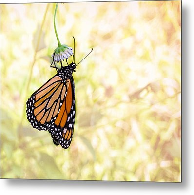 Monarch Butterfly Hanging On Wildflower Metal Print