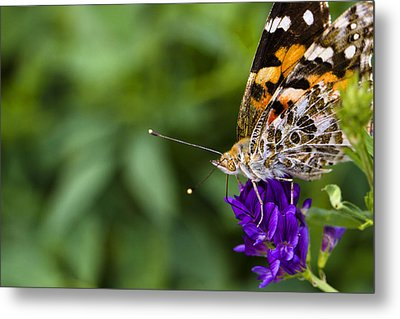 Monarch Butterfly Metal Print by Marlo Horne