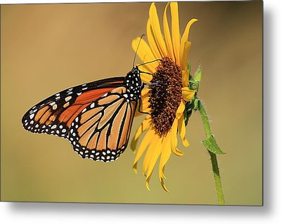 Metal Print featuring the photograph Monarch Butterfly On Sun Flower by Sheila Brown