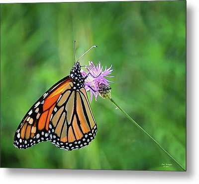 Monarch In The Meadow Metal Print